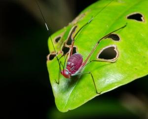 Juvenile Cricket