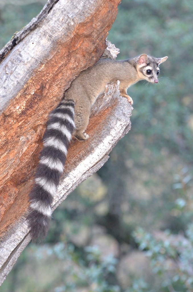 Ringtail at the Sutter Buttes, California.