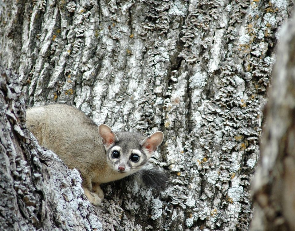 Ringtail in Oak