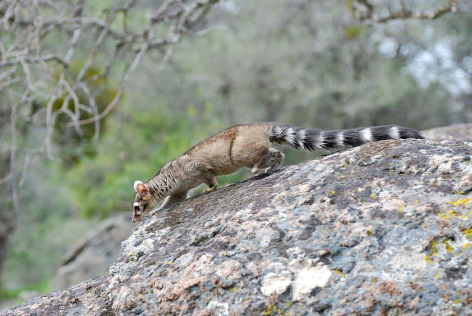 Here is the ringtail that I study....