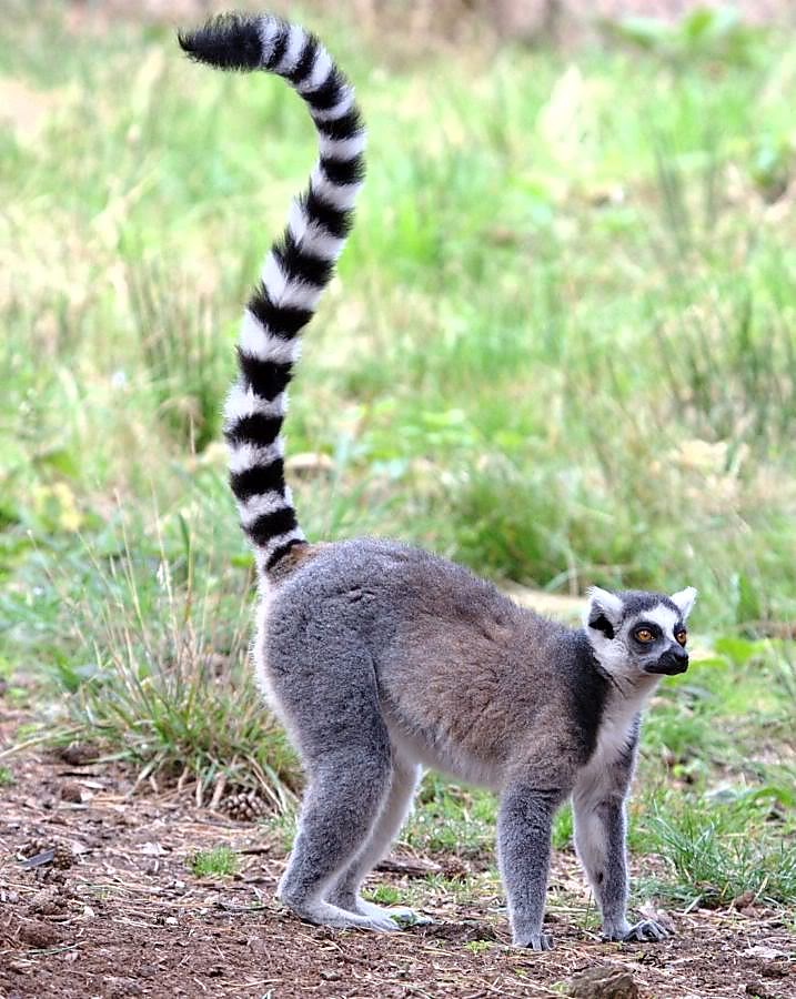 This is a ringtailed lemur and not the critter I study....