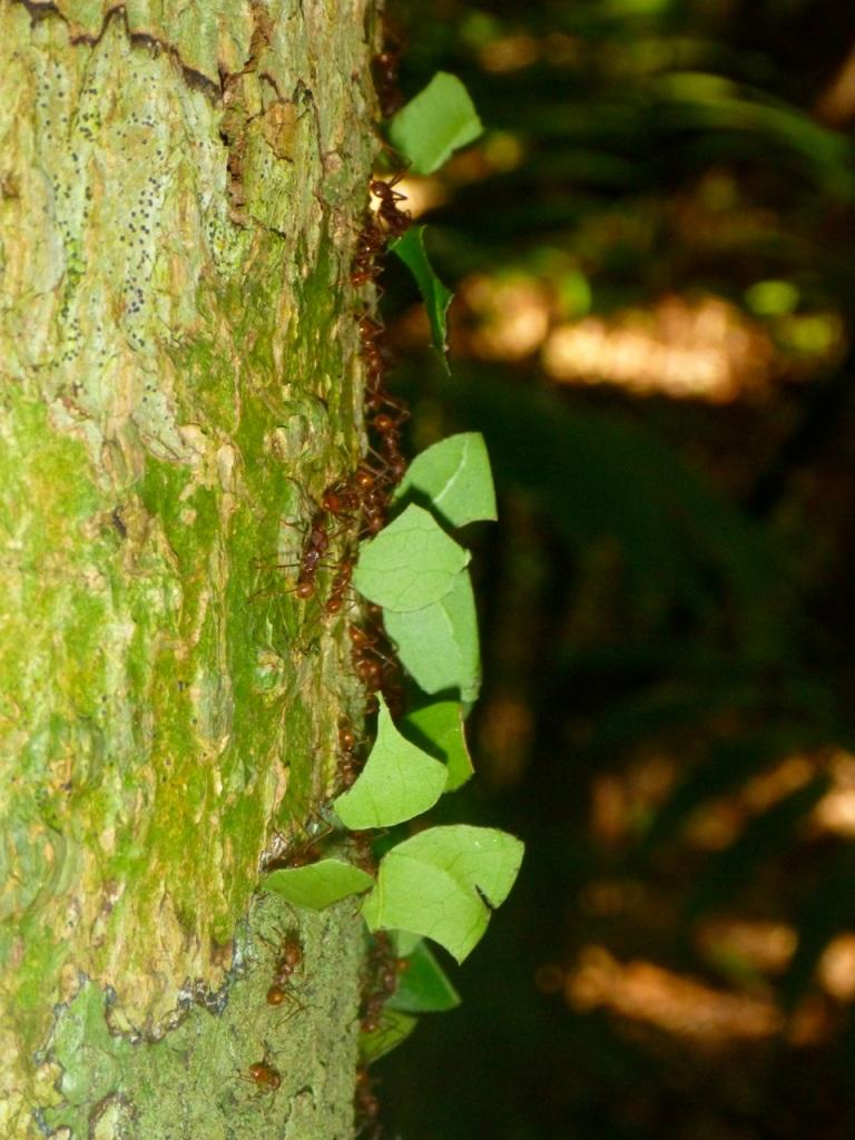Leaf Cutter Ants