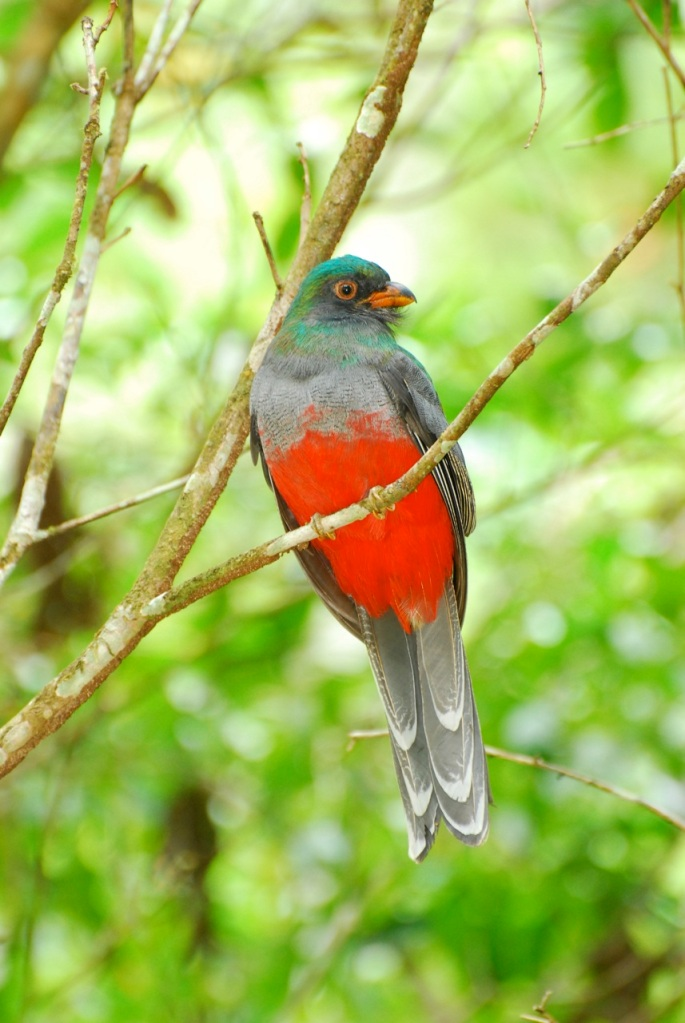 Slaty-tailed Trogon at Blue Creek.