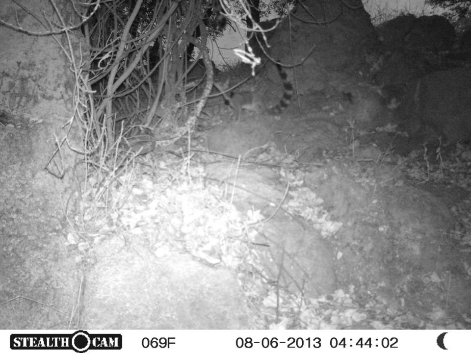 The baby ringtail was quickly followed by Sally - here distinguishable by her radio collar.