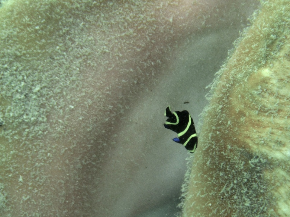 Juvenile French Angelfish.
