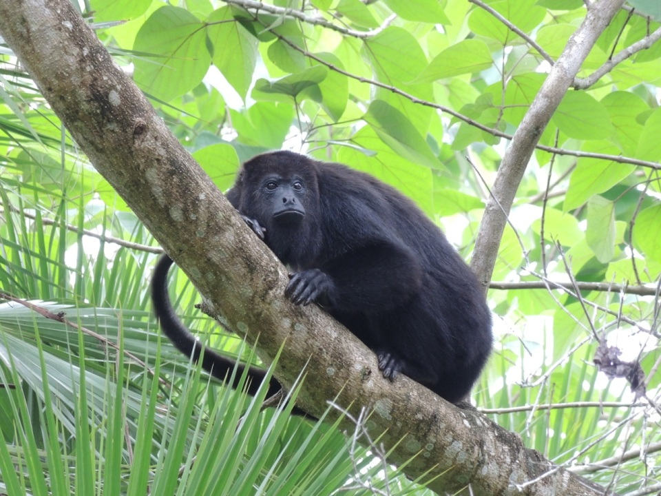 Black Howler Monkey - called Baboon here in Belize.
