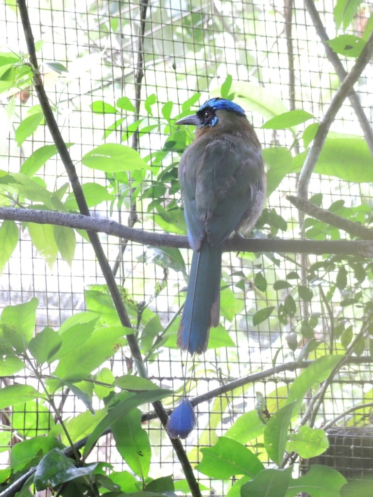 A Blue-crowned Motmot at the Belize Zoo (taken on 11 July 2013).