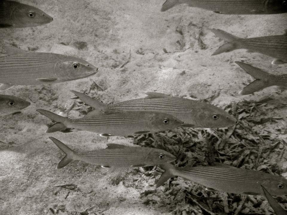 Bonefish BW 1