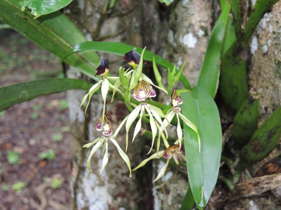 Black Orchids - The National Flower of Belize.