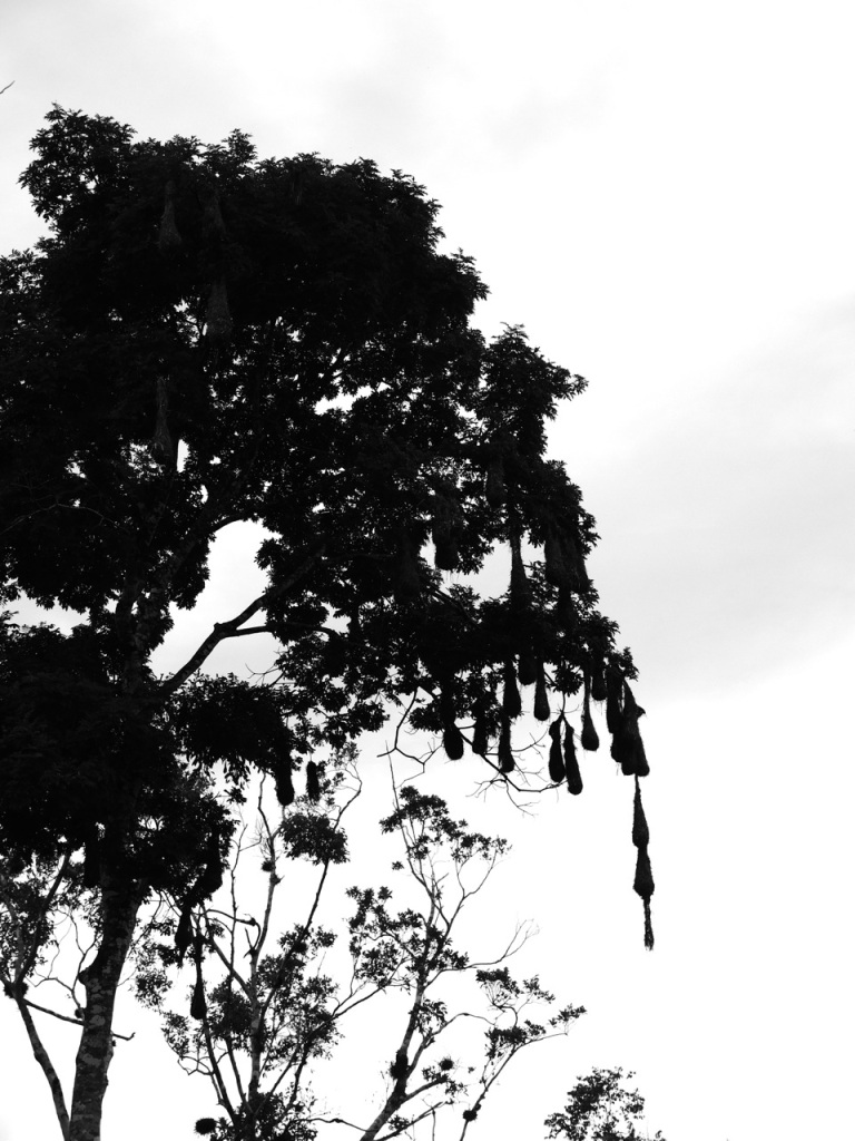 Silhouette of Oropendola Nests at Caracol.