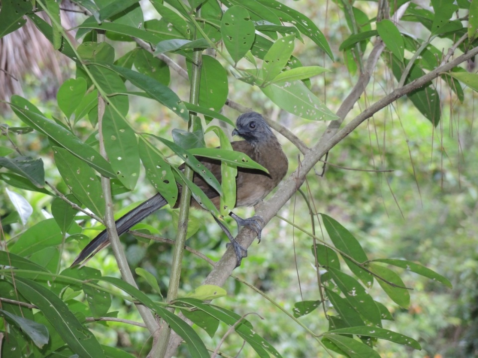 A young Plain Chachalaca - there were two of these youngsters with a very concerned mom nearby.