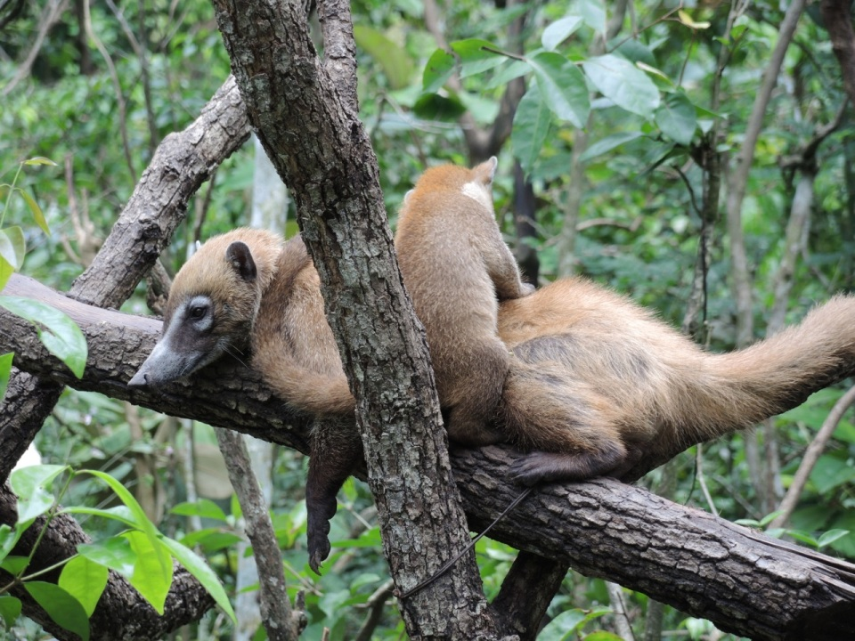 White-nose Coati mom with a youngster.
