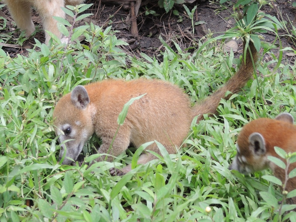 Young coati - there were four in this enclosure...very active little guys!