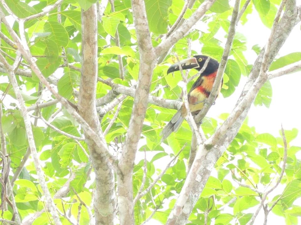 Collared Aracari Left