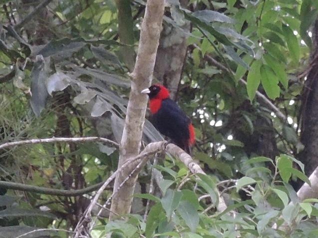 Crimson-collared Tanager.