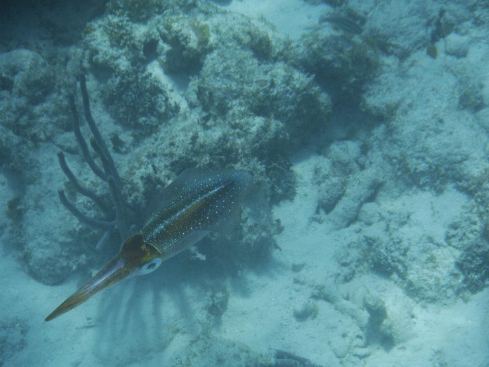Cuttlefish 2