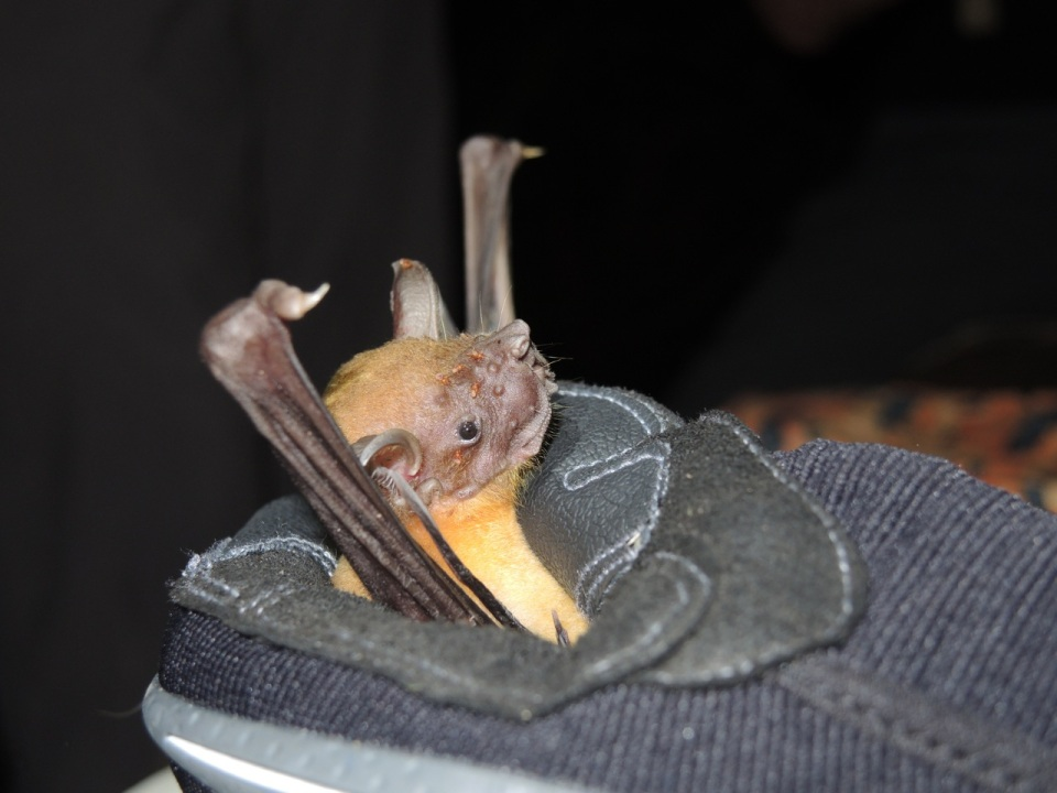 Another common name for this species is Bulldog Bat - as you can see from the face.