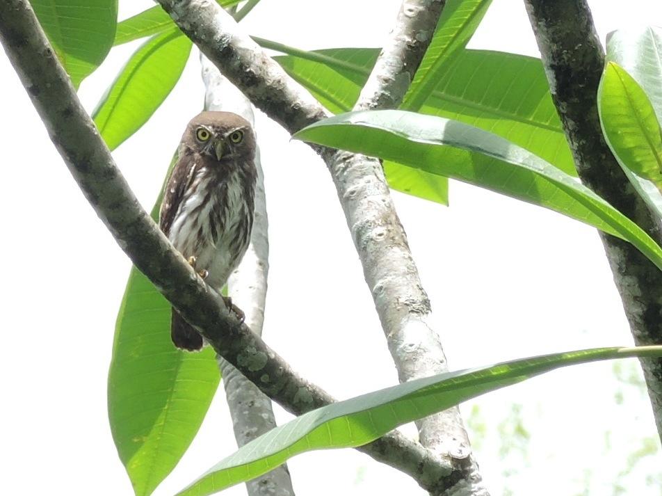 Ferruginous Pygmy Owl 3