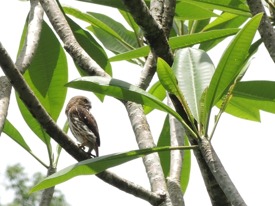 Ferruginous Pygmy Owl at Maya Mountain Lodge.