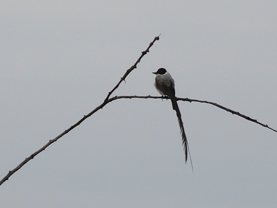 Fork-tailed Flycatcher on the road into the Tropical Education Center.