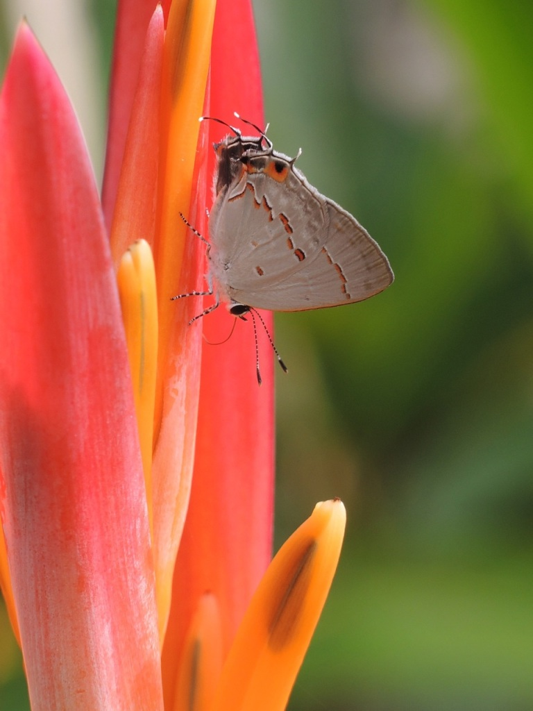 Hairstreak 1