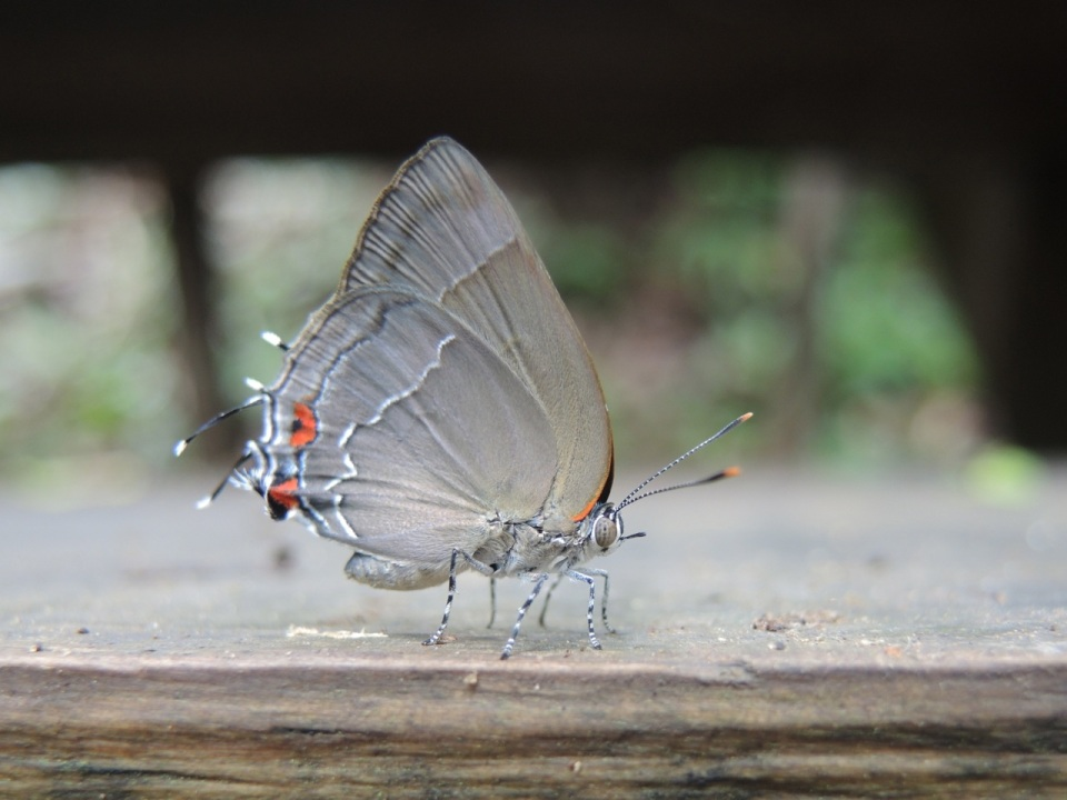 Another hairstreak picture.