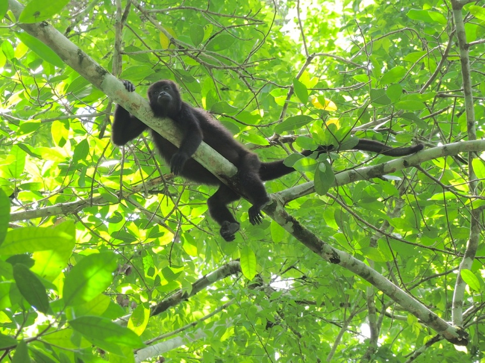 Chillaxin' Black Howler Monkey at Xunantunich.