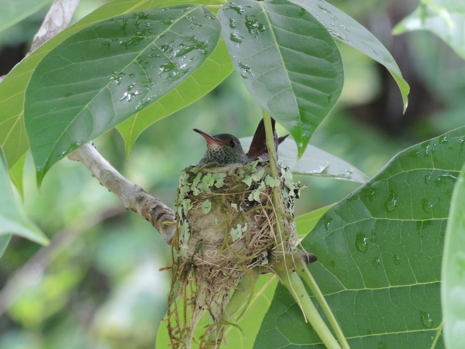 Rufous-tailed Hummingbird on nest at the Tropical Education Center.