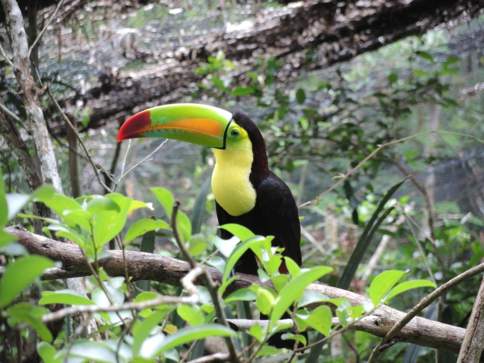 Keel-billed Toucan at the Belize Zoo - this is the National Bird of Belize and can be found on all of their paper currency.