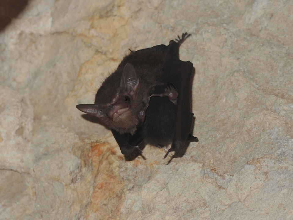 Least Sac-winged Bat 2