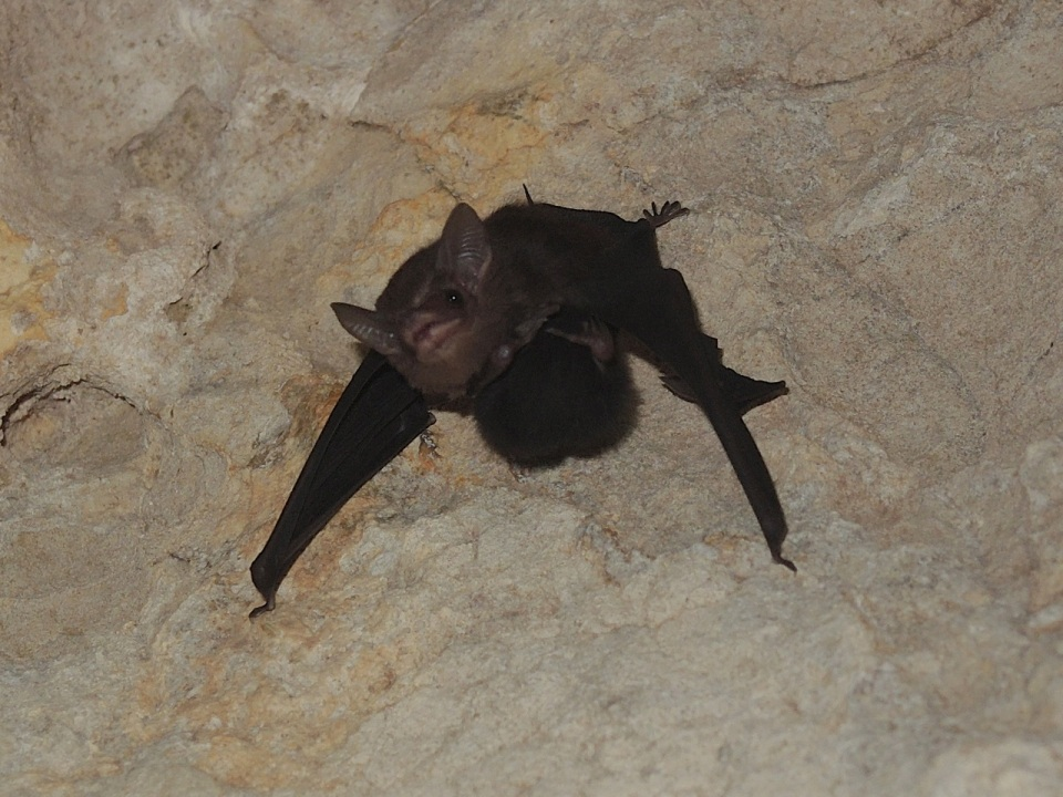 Least Sac-winged Bat (Balantiopteryx io).