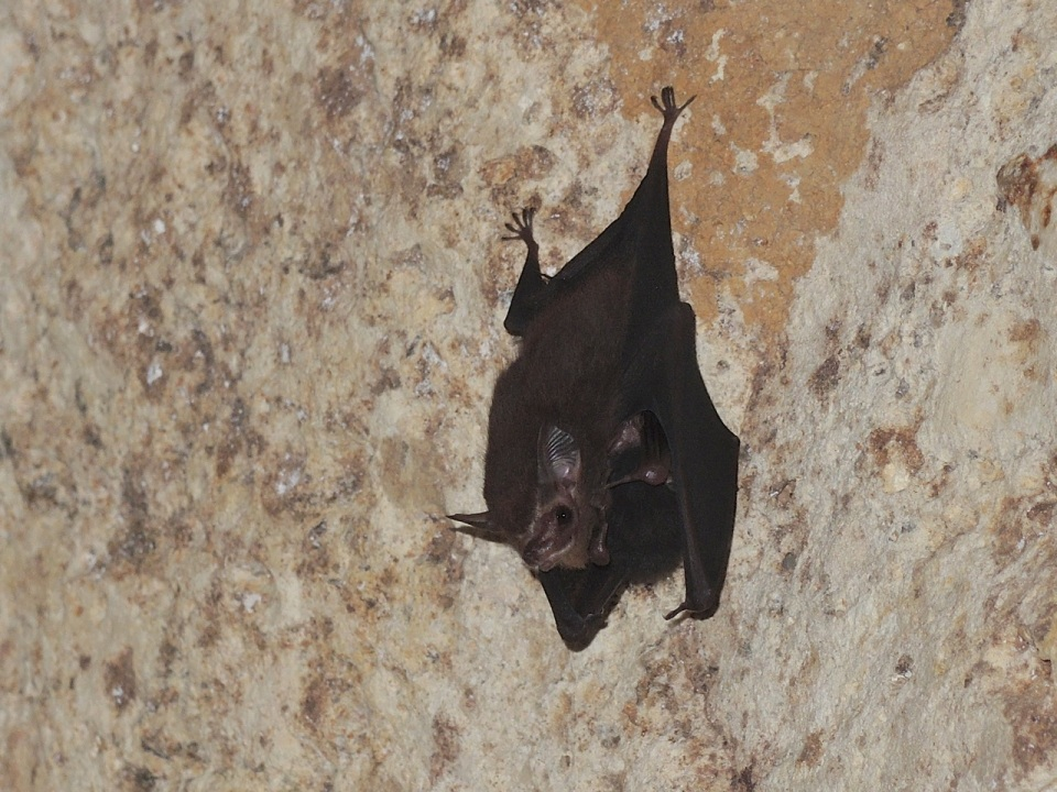 Lesser Sac-winged Bat 3