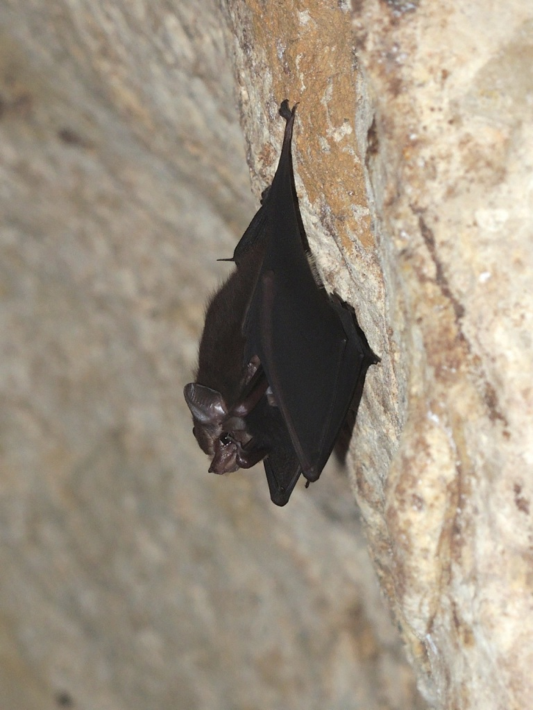 Lesser-sac Winged Bat 4