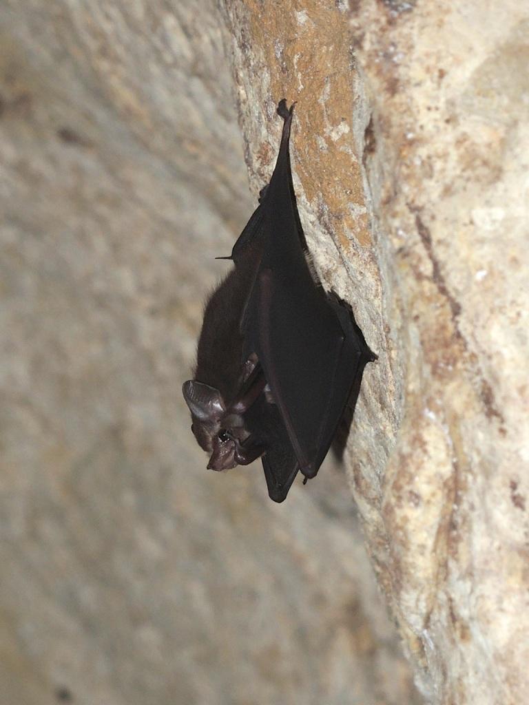 Lesser-sac Winged Bat 4