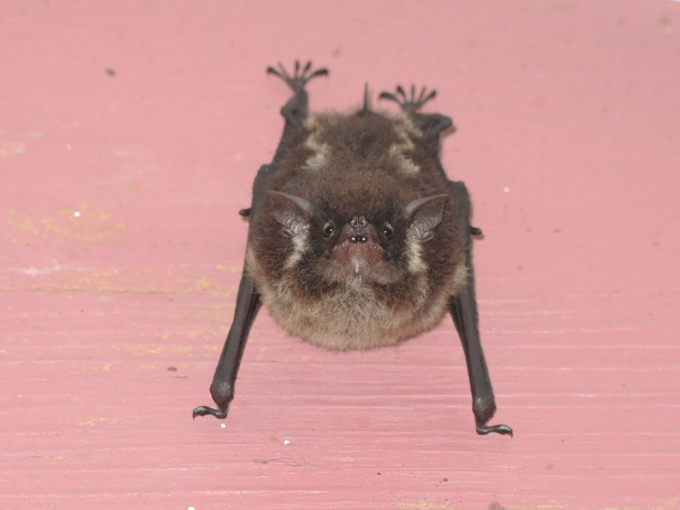 Lesser White-lined Bat (Saccopteryx leptura).