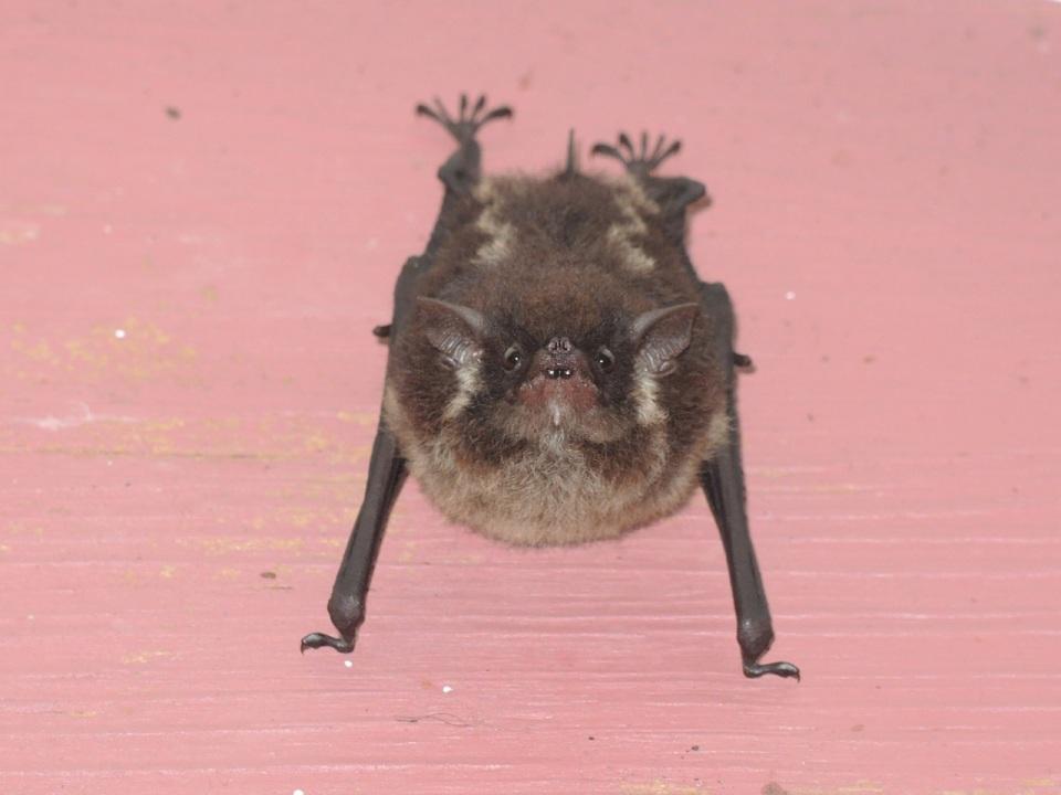 Lesser White-lined Bat (Saccopteryx leptura).