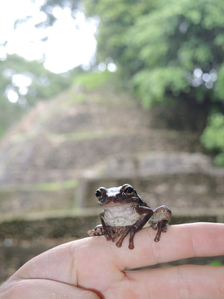 Mexican Tree Frog 2