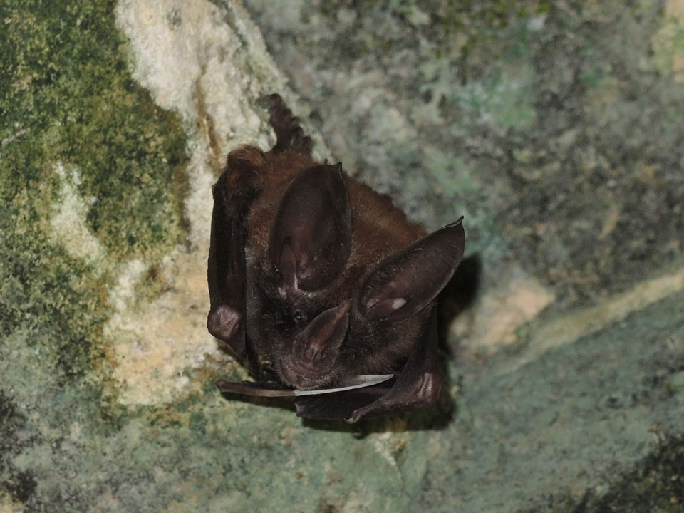 Golden Bat - note the white wing tips (diagnostic for this species).
