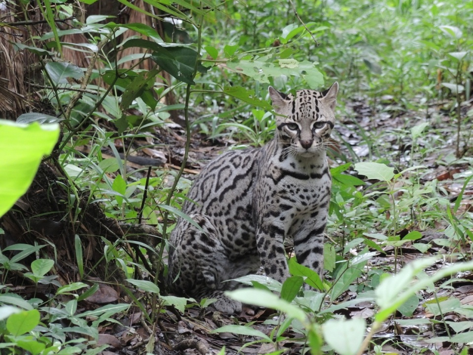 Ocelot - there were two Ocelots in adjacent enclosures which appeared to be having a dispute. Lots of yowling between the two of them.