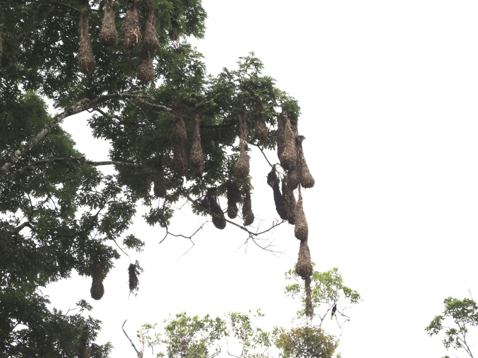Montezuma Oropendola Nests (about 24-inches long).