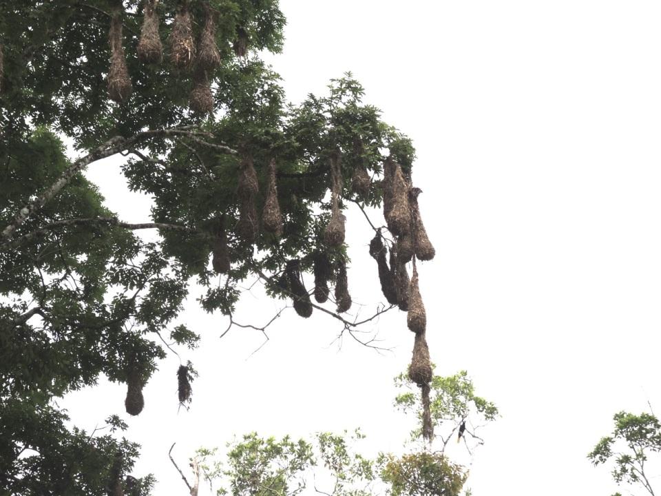 Montezuma Oropendola Nests (about 24-inches long).