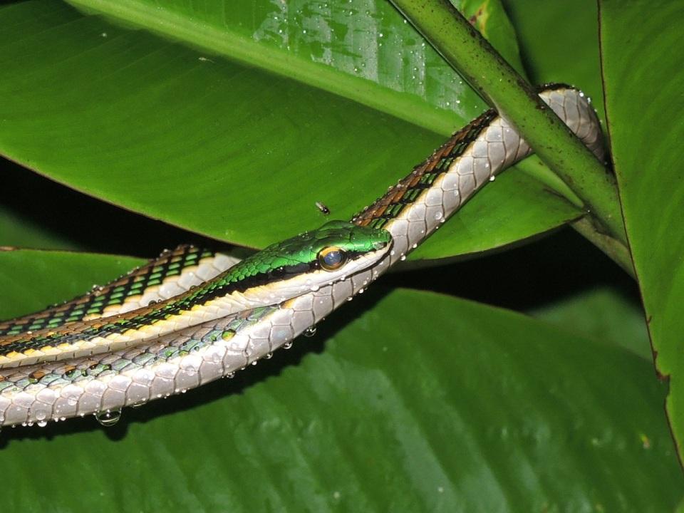 Parrot Snake 3