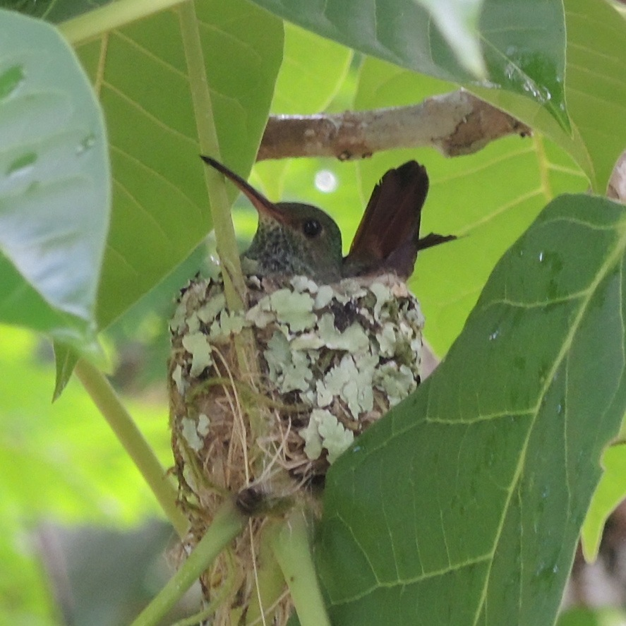 Rufous-tailed HB Nest