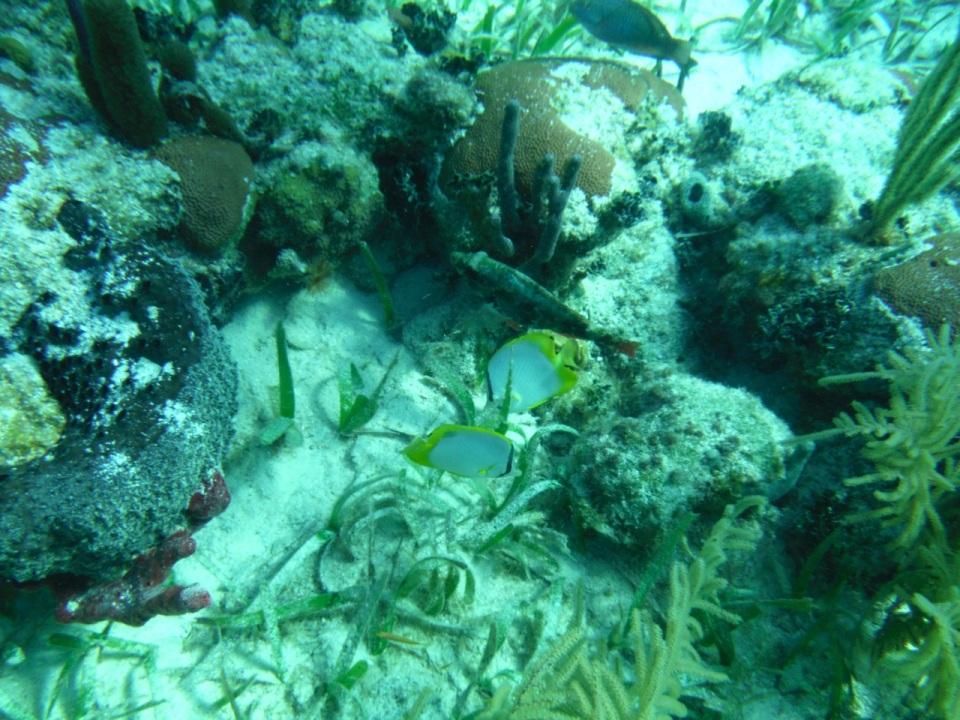 Spotfin Butterflyfish.