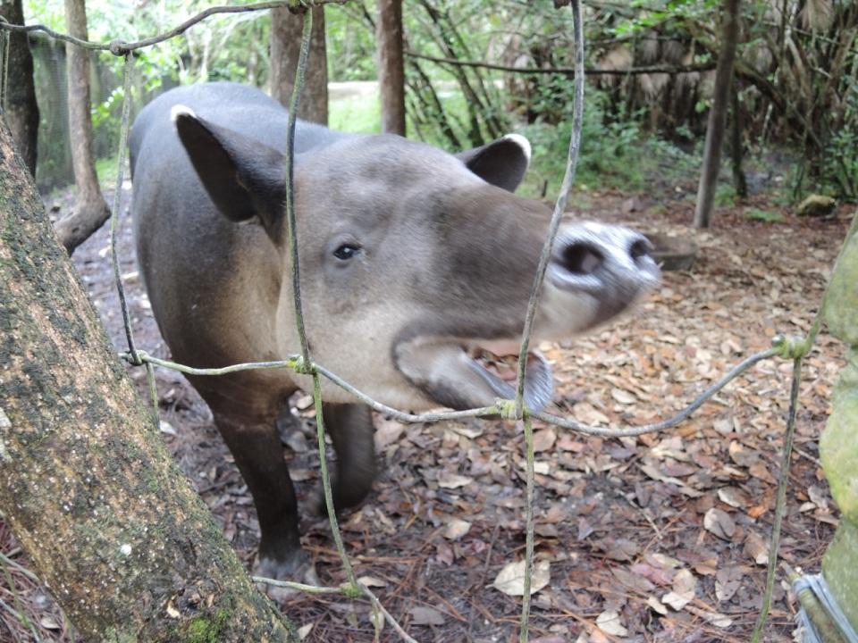 Tapir Nose