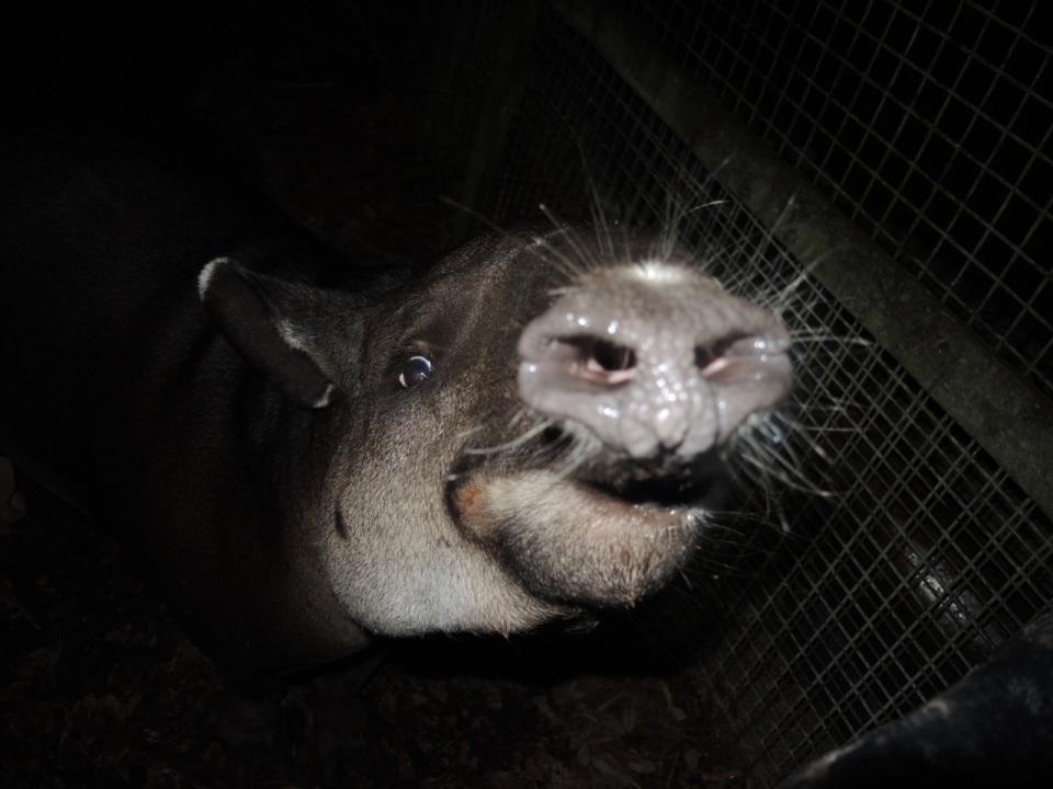 Tapir Snout