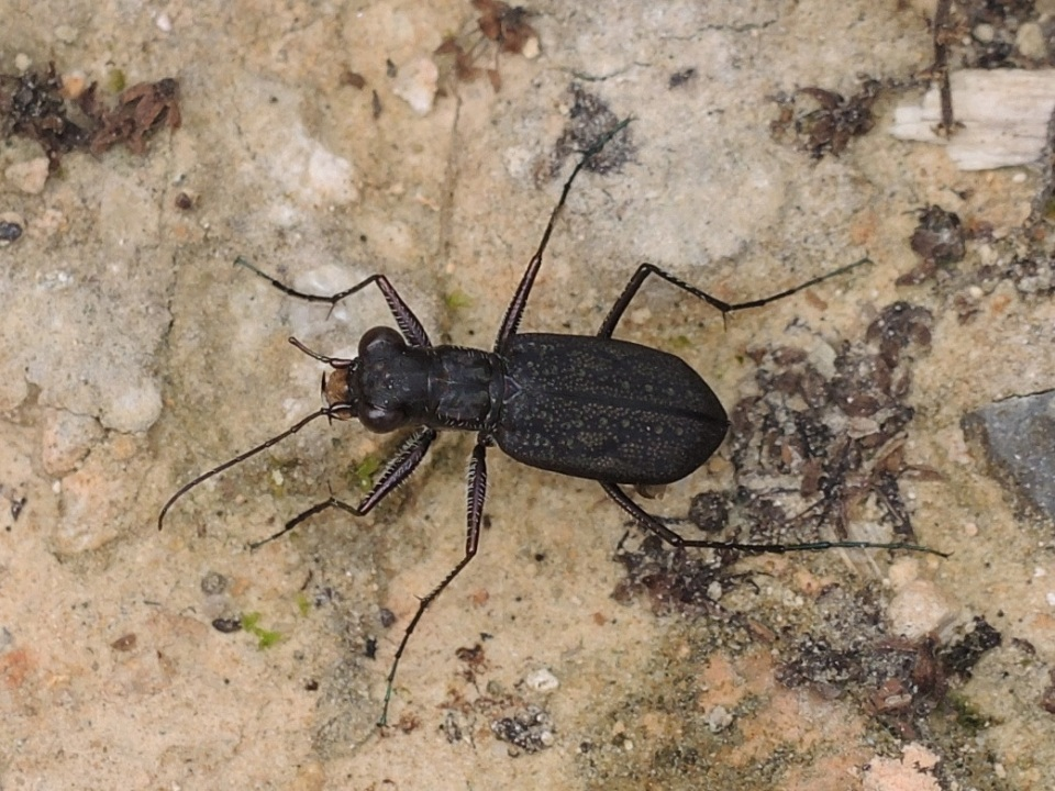 A cool tiger beetle...man did I want to collect this....