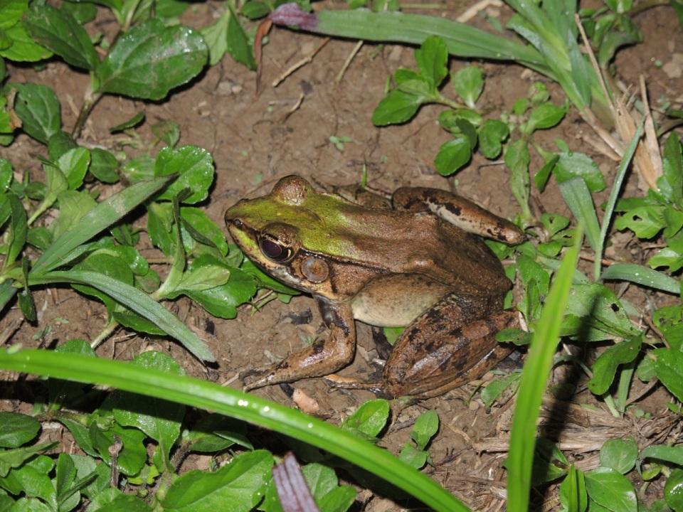 Vaillant's Frog (Rana vaillanti).