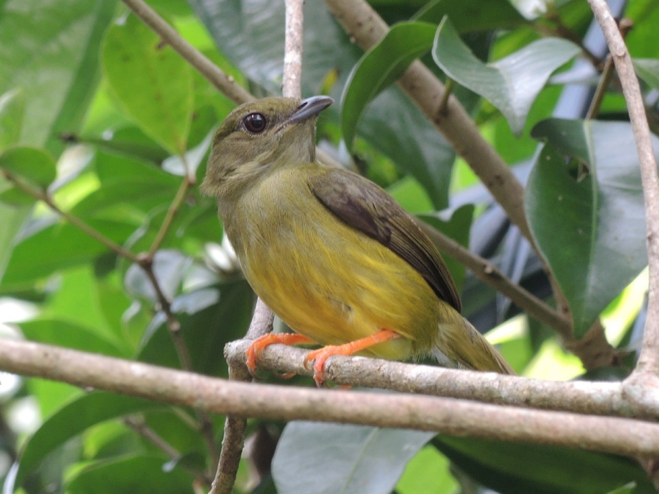 White-collared Manakin - female.