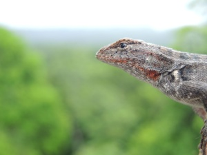 Yucatan Spiny Lizard.